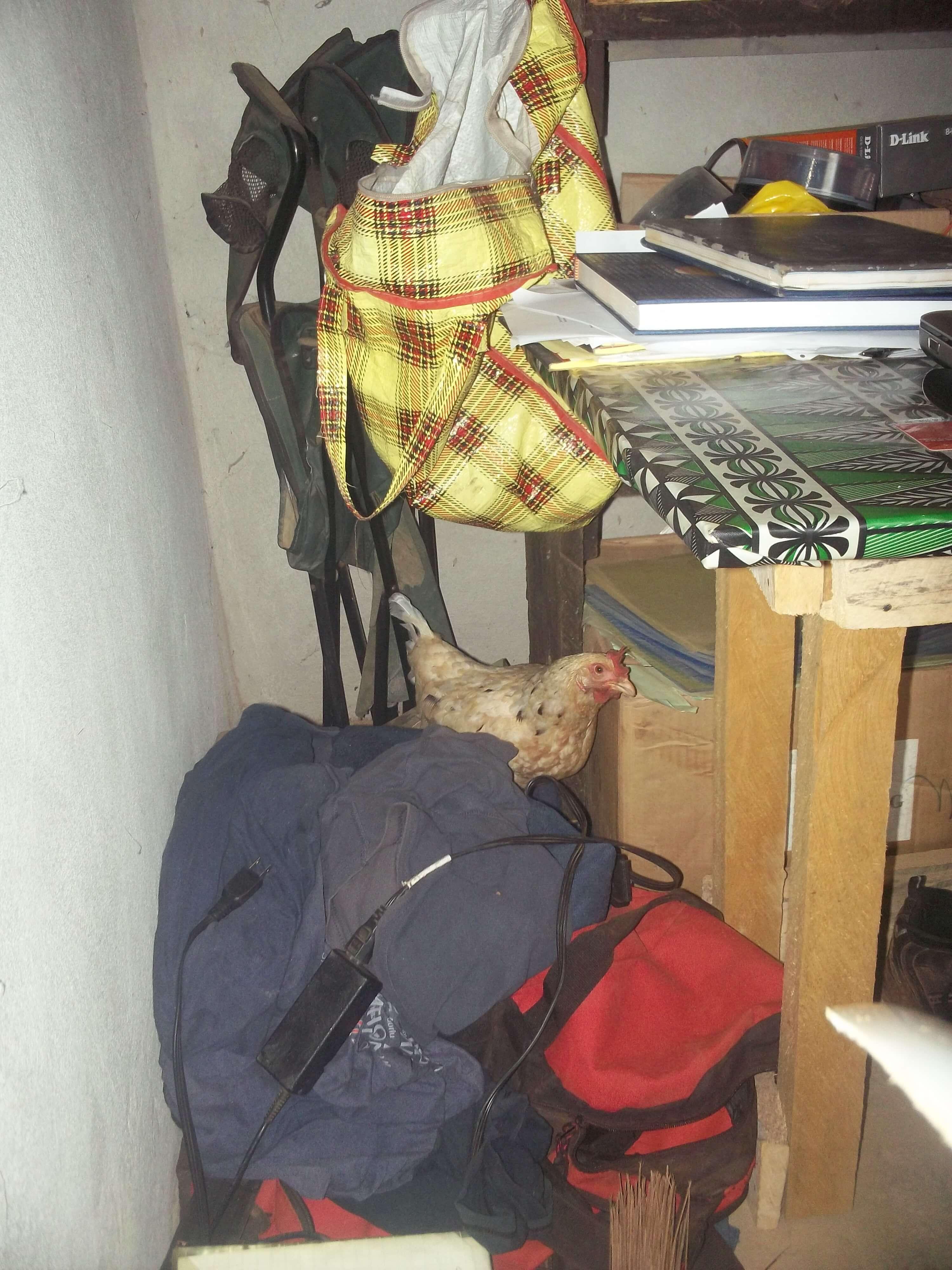 Une poule niche à côté du bureau de direction