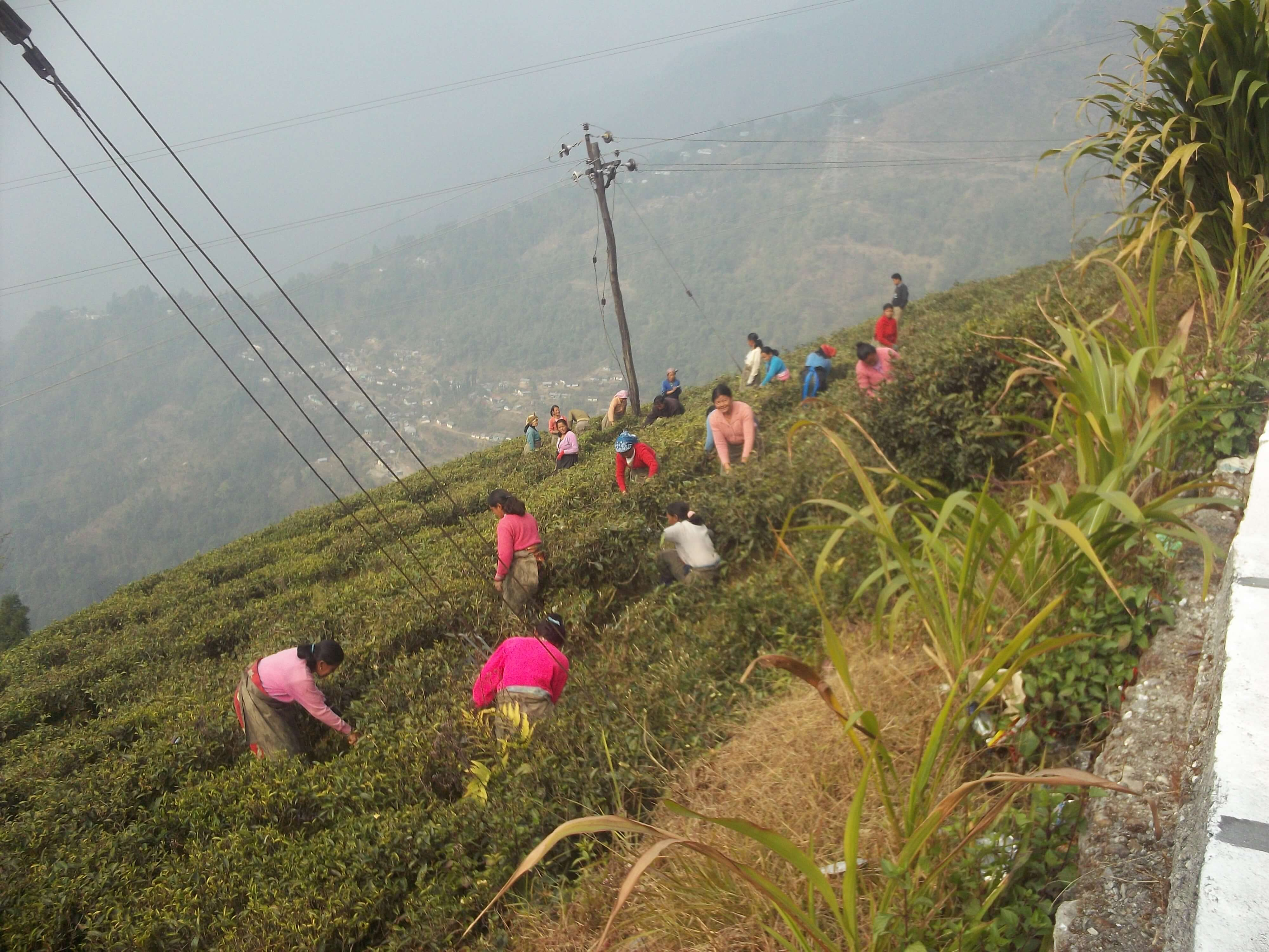 Femmes travaillant dans les plantations de thé au Nord de l'Inde