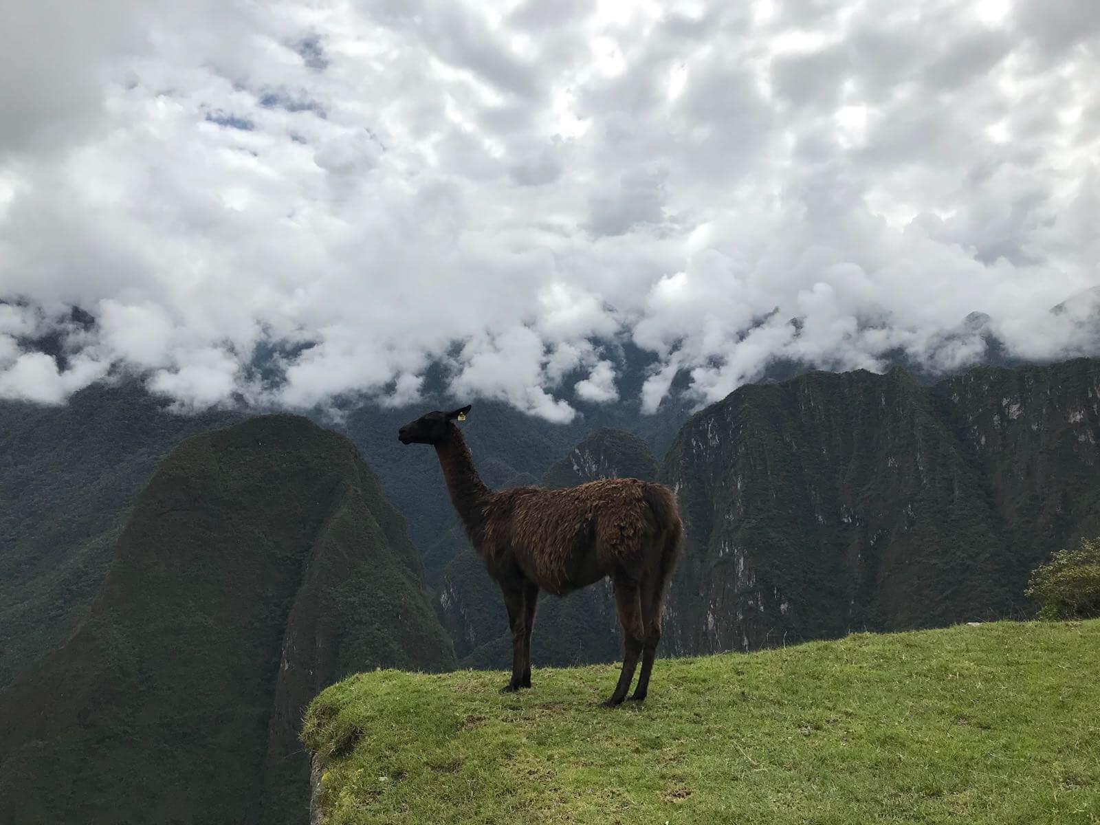 Le lama emblème du Pérou